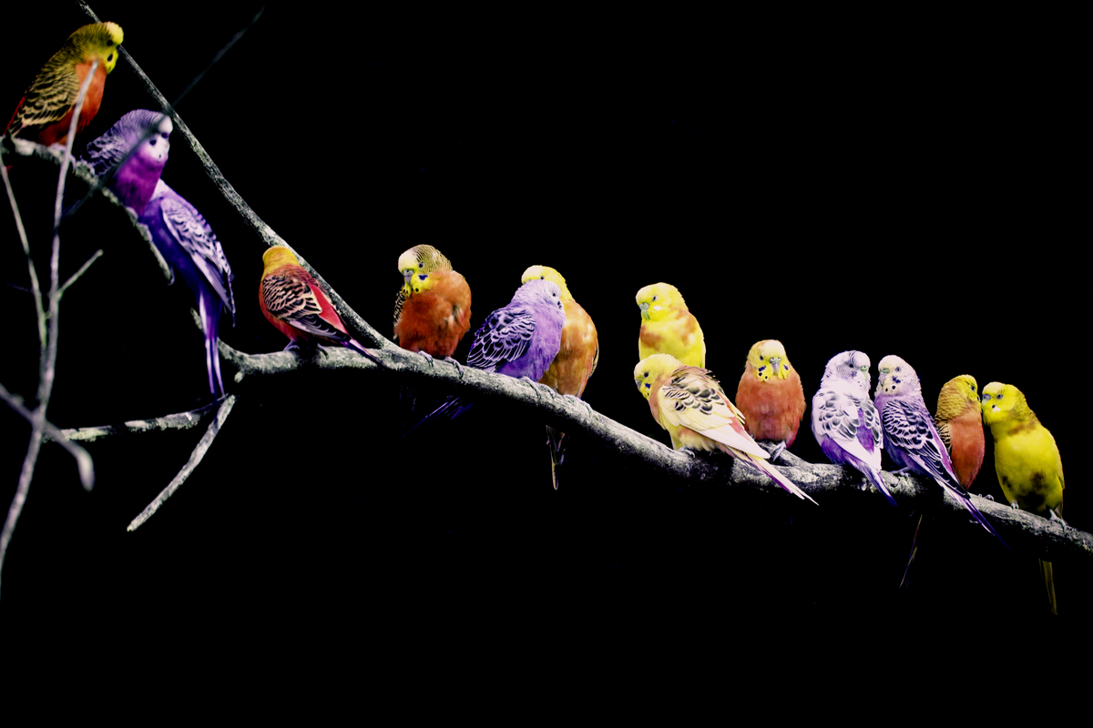 Dynamic parakeets purple orange red yellow no background