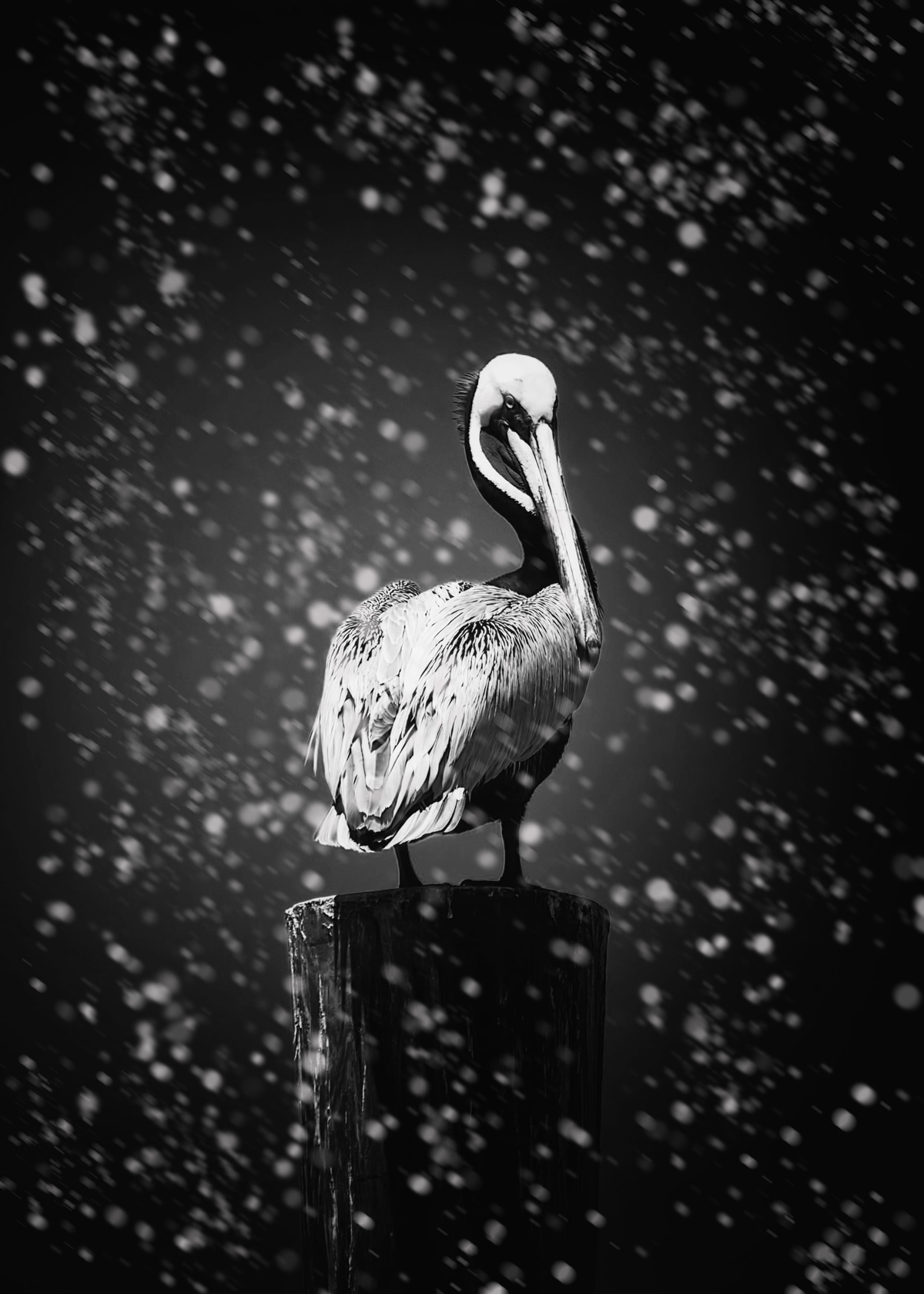 Dynamic brown pelican 2 b w snow